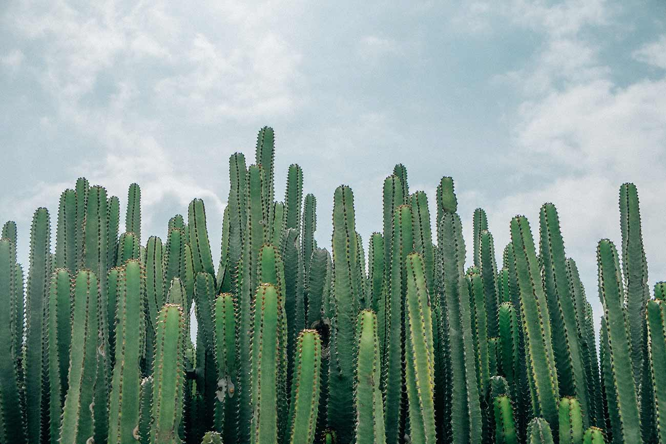 Many cactii in front of a blue cloudy sky